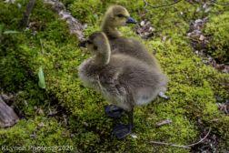 goslings_14