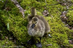 goslings_15
