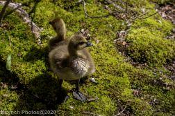 goslings_16