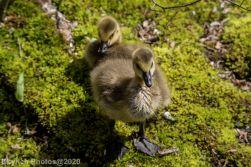 goslings_17