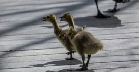 goslings_23