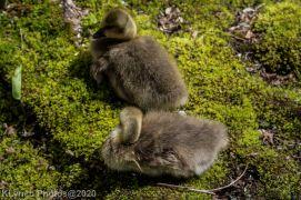 goslings_24