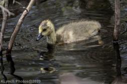goslings_3