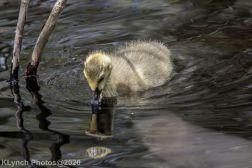 goslings_4