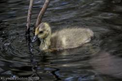 goslings_5