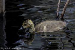 goslings_6