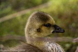 goslings_7