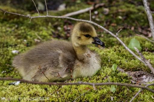 goslings_8