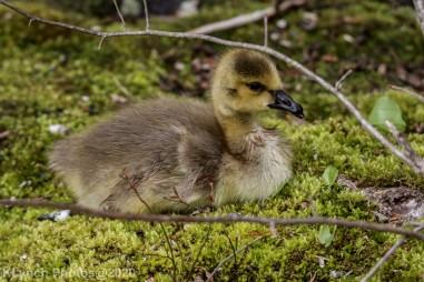 goslings_9