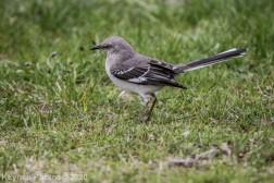 Mockinbird_1