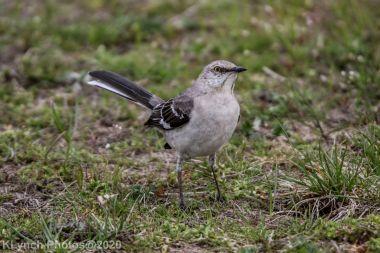 Mockinbird_10