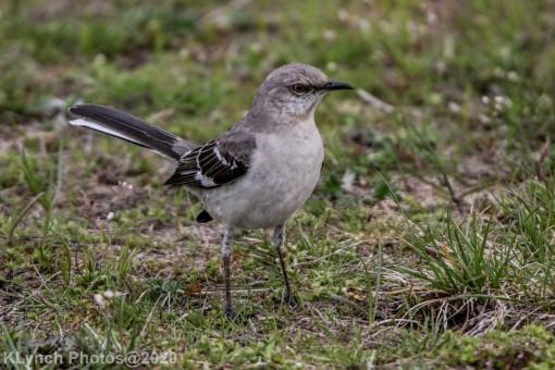 Mockinbird_11