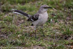 Mockinbird_12