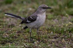 Mockinbird_14