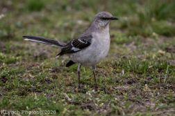 Mockinbird_15
