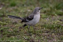 Mockinbird_16