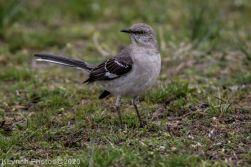 Mockinbird_18