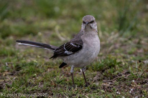 Mockinbird_19