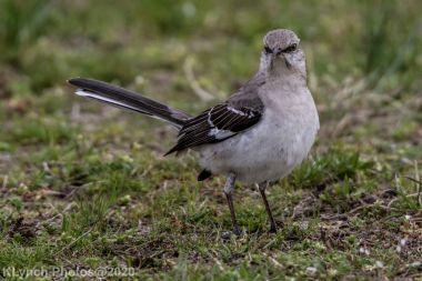 Mockinbird_20
