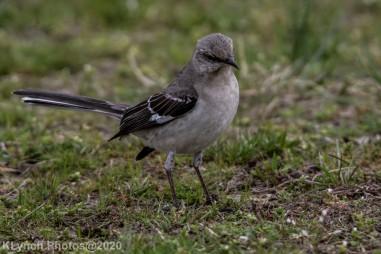 Mockinbird_21