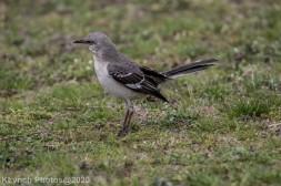 Mockinbird_3