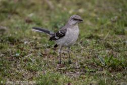 Mockinbird_6