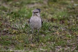 Mockinbird_7