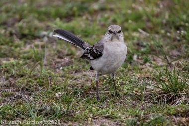 Mockinbird_9
