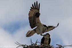 osprey_17