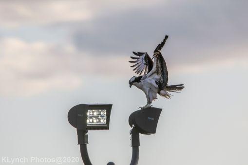 Osprey_22