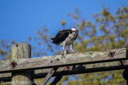 Osprey_3