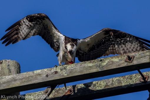 Osprey_30