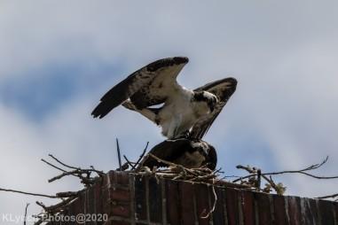 osprey_32
