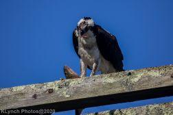 Osprey_36