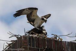osprey_38