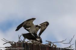 osprey_39