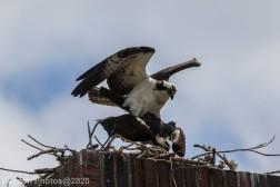 osprey_40