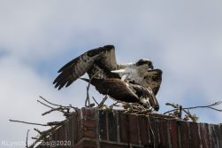 osprey_45