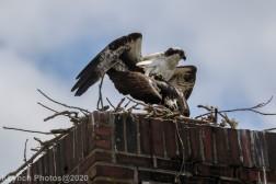 osprey_46