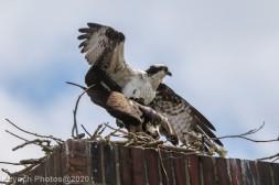 osprey_47