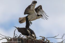 osprey_49