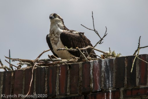 osprey_52