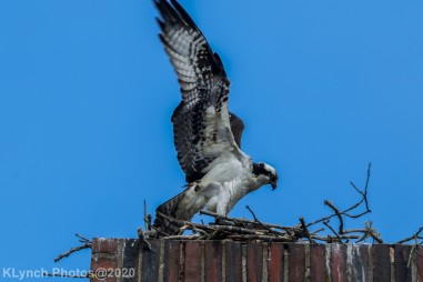 osprey_54