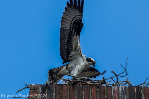 osprey_55