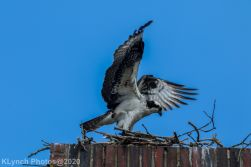osprey_56