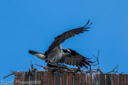 osprey_58