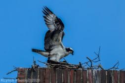 osprey_59