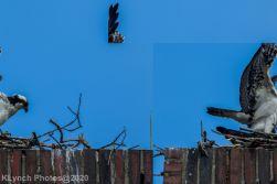 osprey_62