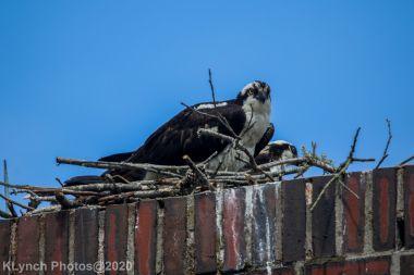 osprey_65