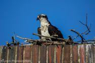 osprey_69